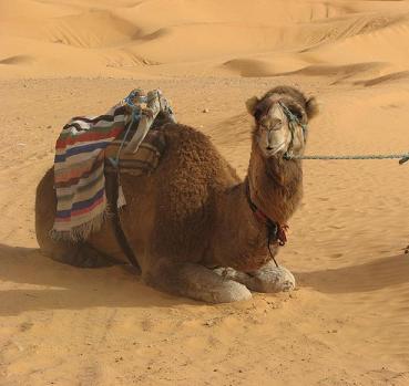Túnez día 72: Sobre gacelas y dromedarios